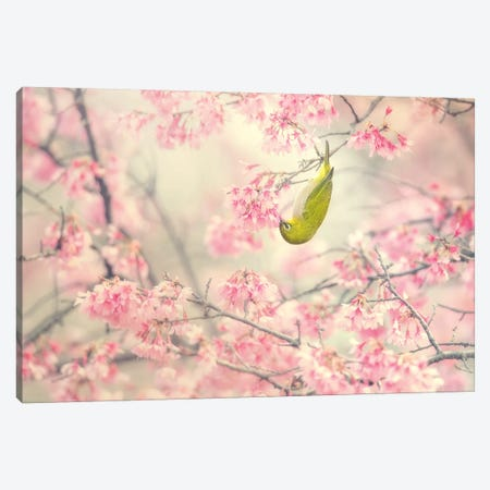Cherry-Blossom Color II Canvas Print #TSU4} by Takashi Suzuki Canvas Print