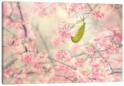 Cherry-Blossom Color II Canvas Art Print