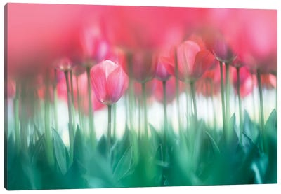 Lined Tulips Canvas Art Print