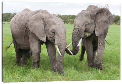 African Elephant Pair Grazing, Ol Pejeta Conservancy, Kenya Canvas Art Print