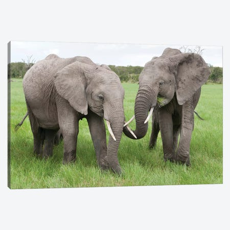 African Elephant Pair Grazing, Ol Pejeta Conservancy, Kenya Canvas Print #TUI10} by Tui De Roy Canvas Art