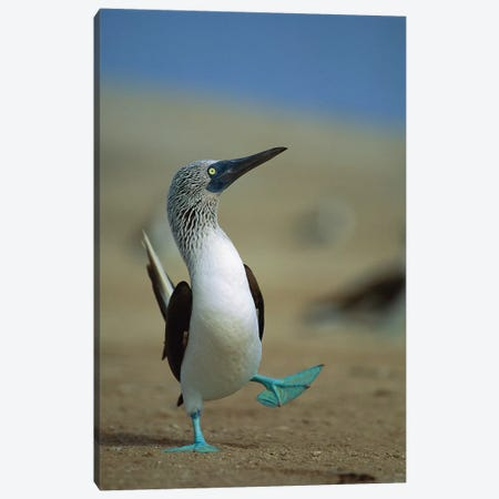 Blue-Footed Booby Courtship Dance, Lobos De Tierra Island, Peru Canvas Print #TUI13} by Tui De Roy Canvas Artwork