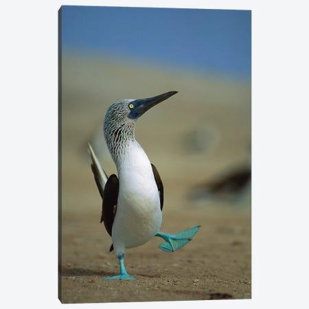 Blue-Footed Booby Courtship Dance, Lobos De Tierra Island, Peru Canvas Print #TUI13} by Tui De Roy Canvas Artwork