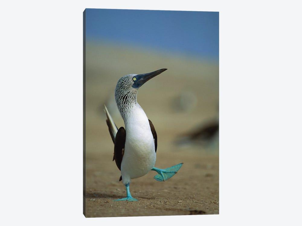 Blue-Footed Booby Courtship Dance, Lobos De Tierra Island, Peru by Tui De Roy 1-piece Canvas Artwork
