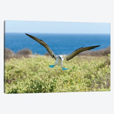 Blue-Footed Booby Landing, Galapagos Islands, Ecuador Canvas Print #TUI14} by Tui De Roy Canvas Art Print