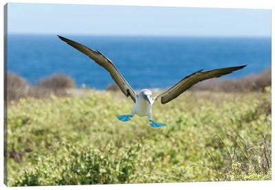 Blue-Footed Booby Landing, Galapagos Islands, Ecuador Canvas Art Print