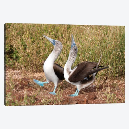 Blue-Footed Booby Pair In Courtship Dance, Galapagos Islands, Ecuador Canvas Print #TUI15} by Tui De Roy Art Print