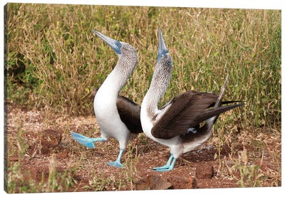 Blue-Footed Booby Pair In Courtship Dance, Galapagos Islands, Ecuador Canvas Art Print