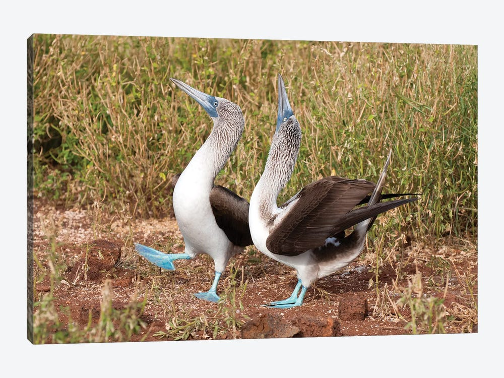 Blue-Footed Booby Pair In Courtship Dance, Galapagos Islands, Ecuador by Tui De Roy 1-piece Canvas Artwork