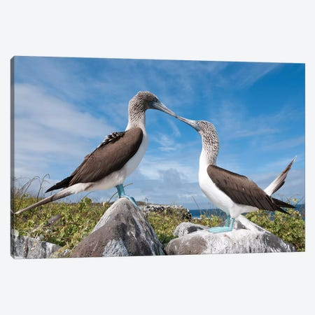 Blue-Footed Booby Pair In Courtship Dance, Galapagos Islands, Ecuador. Sequence 2 Of 6 Canvas Print #TUI16} by Tui De Roy Canvas Print