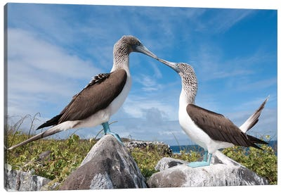 Blue-Footed Booby Pair In Courtship Dance, Galapagos Islands, Ecuador. Sequence 2 Of 6 Canvas Art Print