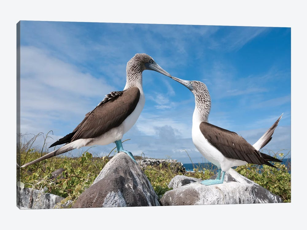 Blue-Footed Booby Pair In Courtship Dance, Galapagos Islands, Ecuador. Sequence 2 Of 6 by Tui De Roy 1-piece Art Print