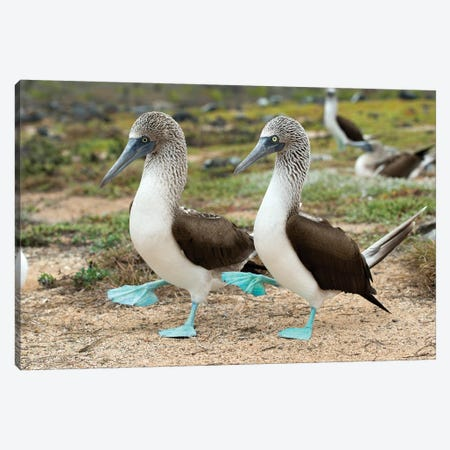 Blue-Footed Booby Pair In Courtship Dance, Santa Cruz Island, Galapagos Islands, Ecuador Canvas Print #TUI17} by Tui De Roy Canvas Art Print