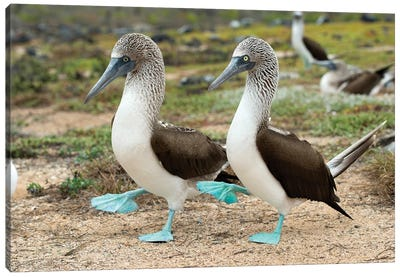 Blue-Footed Booby Pair In Courtship Dance, Santa Cruz Island, Galapagos Islands, Ecuador Canvas Art Print