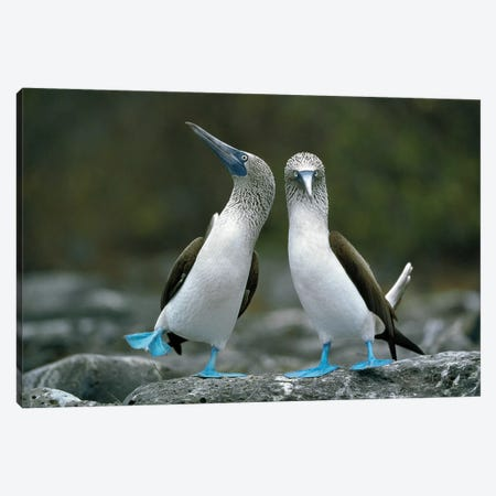 Blue-Footed Booby Pair Performing Courtship Dance, Punta Cevallos, Espanola Island, Galapagos Islands, Ecuador Canvas Print #TUI18} by Tui De Roy Canvas Artwork