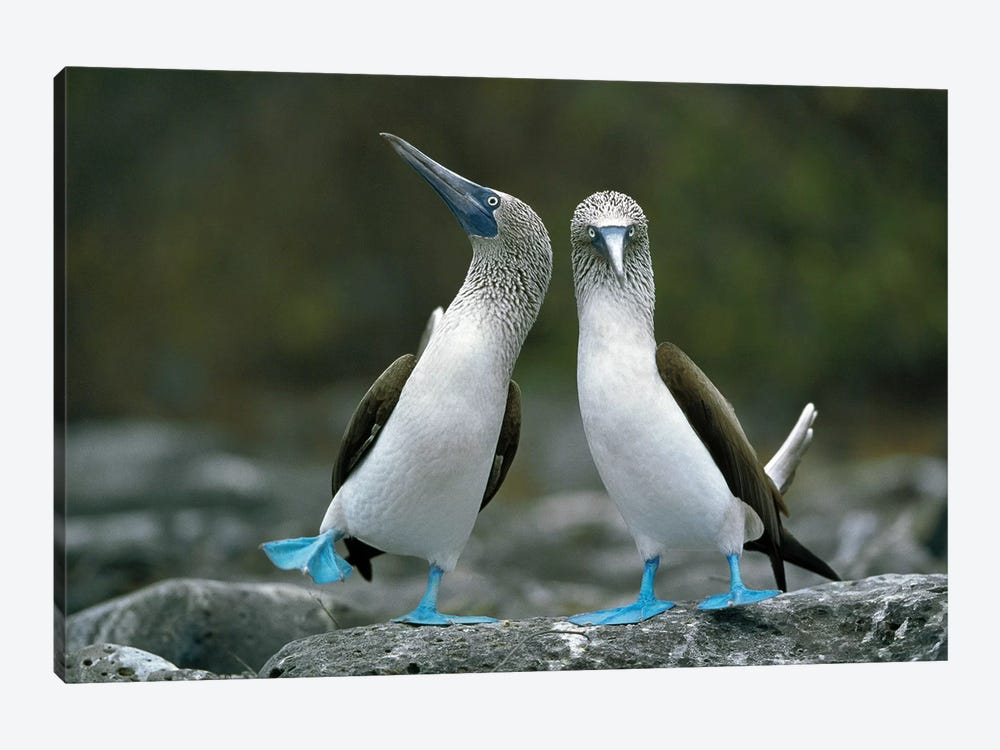 Blue-Footed Booby Pair Performing Courtship Dance, Punta Cevallos, Espanola Island, Galapagos Islands, Ecuador by Tui De Roy 1-piece Art Print
