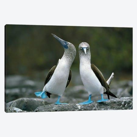 Blue-Footed Booby Pair Performing Courtship Dance, Punta Cevallos, Espanola Island, Galapagos Islands, Ecuador Canvas Print #TUI18} by Tui De Roy Canvas Artwork