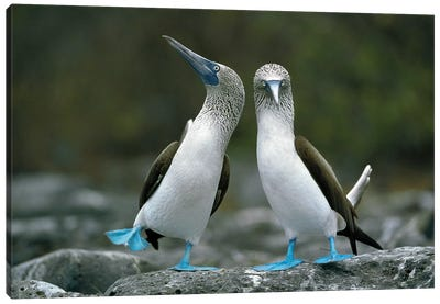 Blue-Footed Booby Pair Performing Courtship Dance, Punta Cevallos, Espanola Island, Galapagos Islands, Ecuador Canvas Art Print