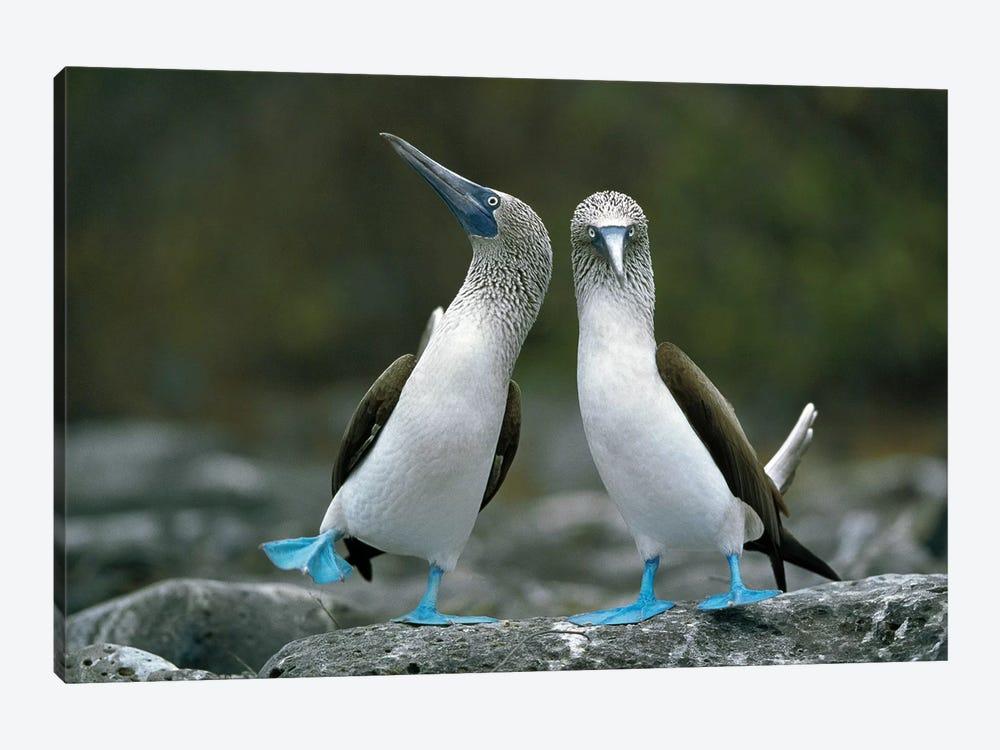 Blue-Footed Booby Pair Performing Courtship Dance, Punta Cevallos, Espanola Island, Galapagos Islands, Ecuador by Tui De Roy 1-piece Art Print