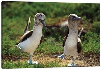 Blue-Footed Booby Pair Performing Courtship Dance, Seymour Island, Galapagos Islands, Ecuador Canvas Art Print