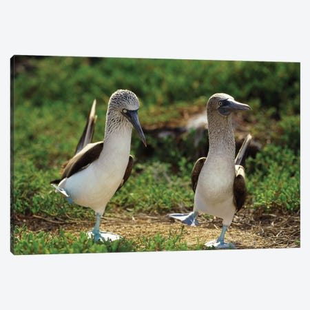 Blue-Footed Booby Pair Performing Courtship Dance, Seymour Island, Galapagos Islands, Ecuador Canvas Print #TUI19} by Tui De Roy Canvas Wall Art
