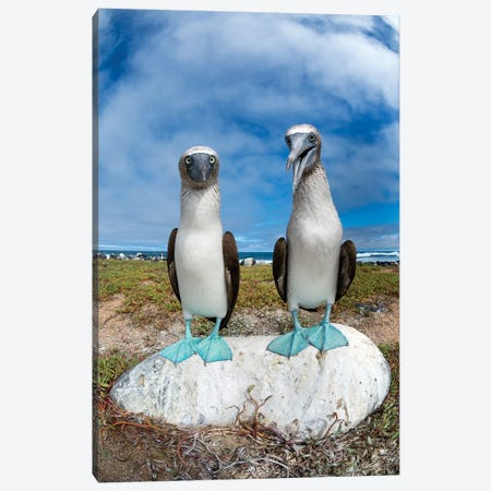 Blue-Footed Booby Pair, Santa Cruz Island, Galapagos Islands, Ecuador Canvas Print #TUI20} by Tui De Roy Art Print