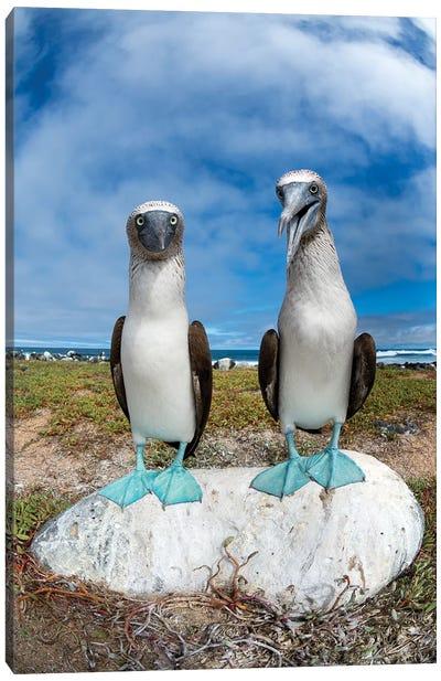 Blue-Footed Booby Pair, Santa Cruz Island, Galapagos Islands, Ecuador Canvas Art Print