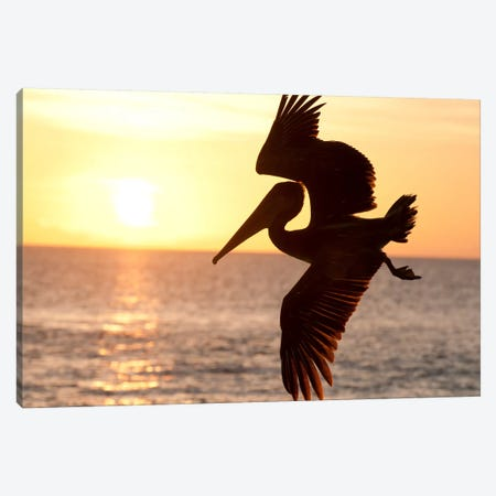 Brown Pelican Flying, Galapagos Islands, Ecuador Canvas Print #TUI21} by Tui De Roy Art Print