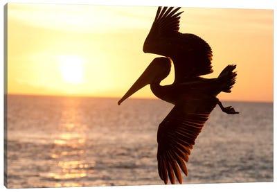 Brown Pelican Flying, Galapagos Islands, Ecuador Canvas Art Print