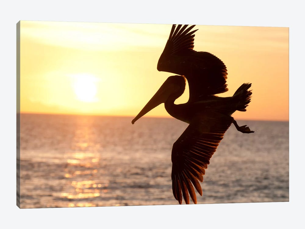 Brown Pelican Flying, Galapagos Islands, Ecuador by Tui De Roy 1-piece Canvas Art Print