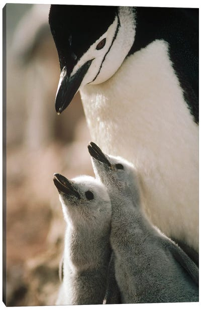 Chinstrap Penguin Bowing Over Twin Chicks Nelson Island, South Shetland Islands, Antarctica Canvas Art Print