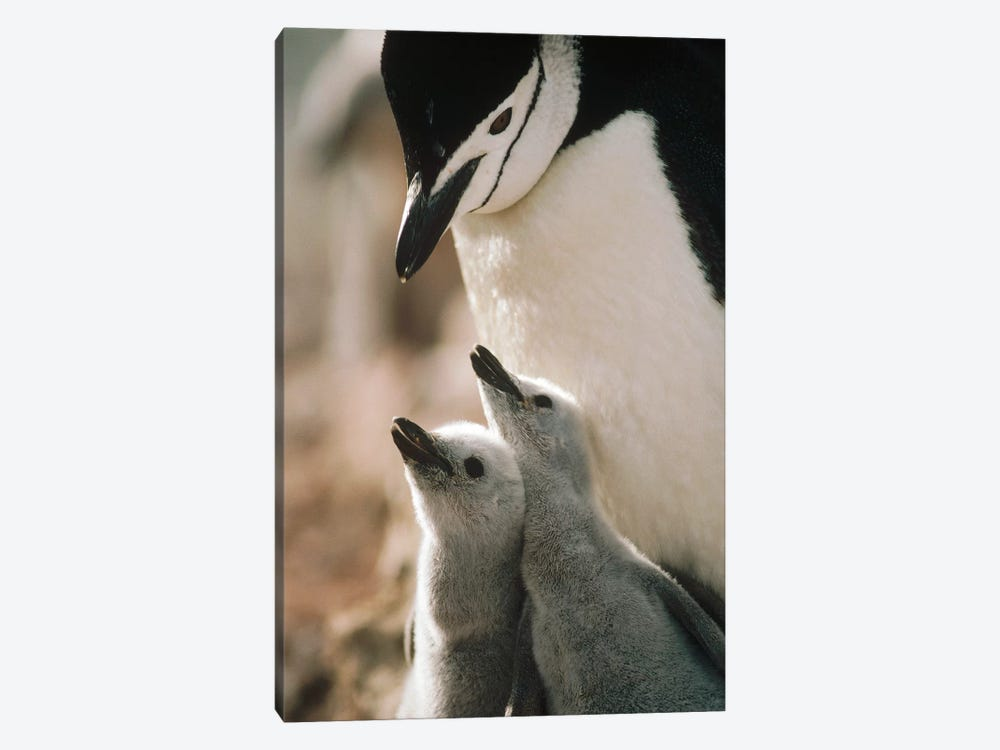 Chinstrap Penguin Bowing Over Twin Chicks Nelson Island, South Shetland Islands, Antarctica by Tui De Roy 1-piece Canvas Art