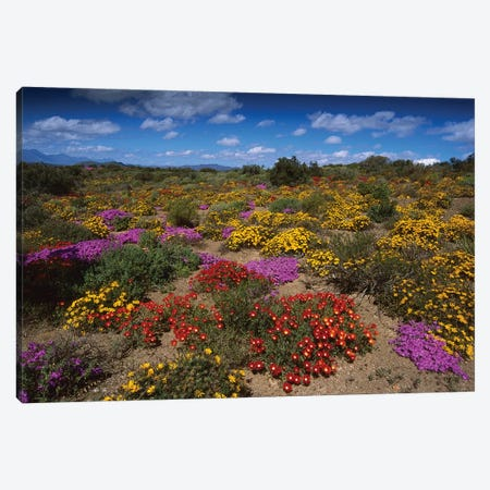 Dewflowers And Other Blooms, Little Karoo, South Africa Canvas Print #TUI25} by Tui De Roy Canvas Artwork