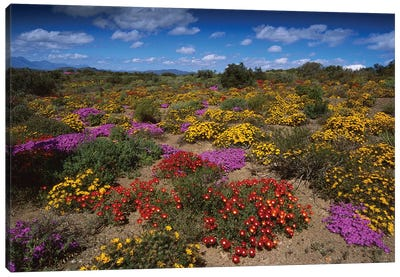 Dewflowers And Other Blooms, Little Karoo, South Africa Canvas Art Print