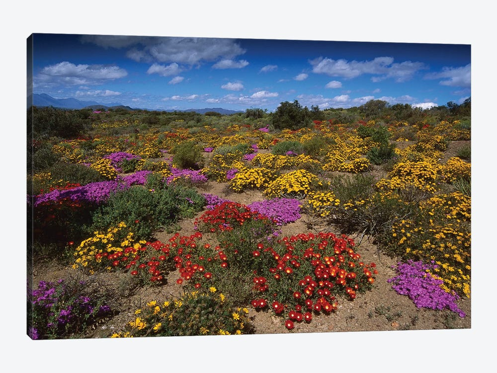 Dewflowers And Other Blooms, Little Karoo, South Africa by Tui De Roy 1-piece Canvas Print