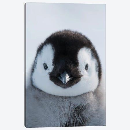Emperor Penguin Chick, Prydz Bay, Eastern Antarctica Canvas Print #TUI26} by Tui De Roy Canvas Art