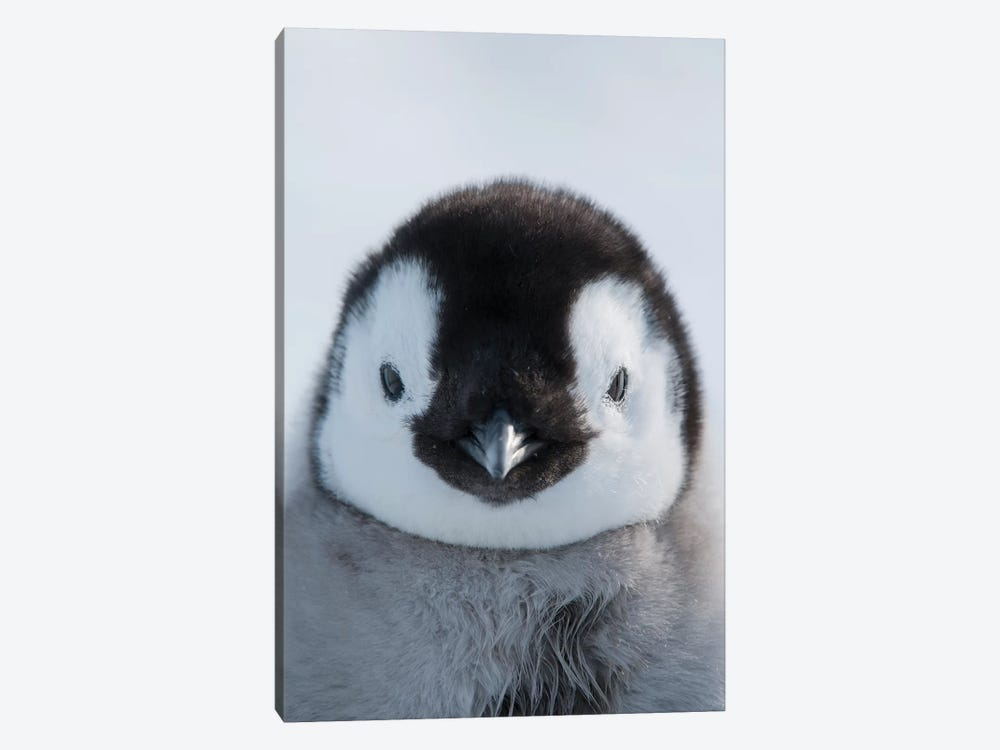 Emperor Penguin Chick, Prydz Bay, Eastern Antarctica by Tui De Roy 1-piece Canvas Art