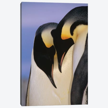 Emperor Penguin Courting Pair, Atka Bay, Princess Martha Bay, Weddell Sea, Antarctica Canvas Print #TUI27} by Tui De Roy Canvas Artwork