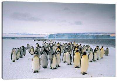 Fledging Emperor Penguins Gathering Along The Fast Ice Edge, Cape Darnley, Davis Sea, Antarctica Canvas Art Print