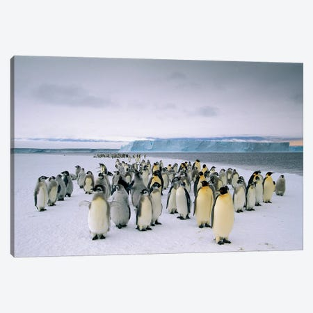 Fledging Emperor Penguins Gathering Along The Fast Ice Edge, Cape Darnley, Davis Sea, Antarctica Canvas Print #TUI28} by Tui De Roy Art Print