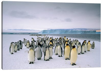 Fledging Emperor Penguins Gathering Along The Fast Ice Edge, Cape Darnley, Davis Sea, Antarctica Canvas Art Print