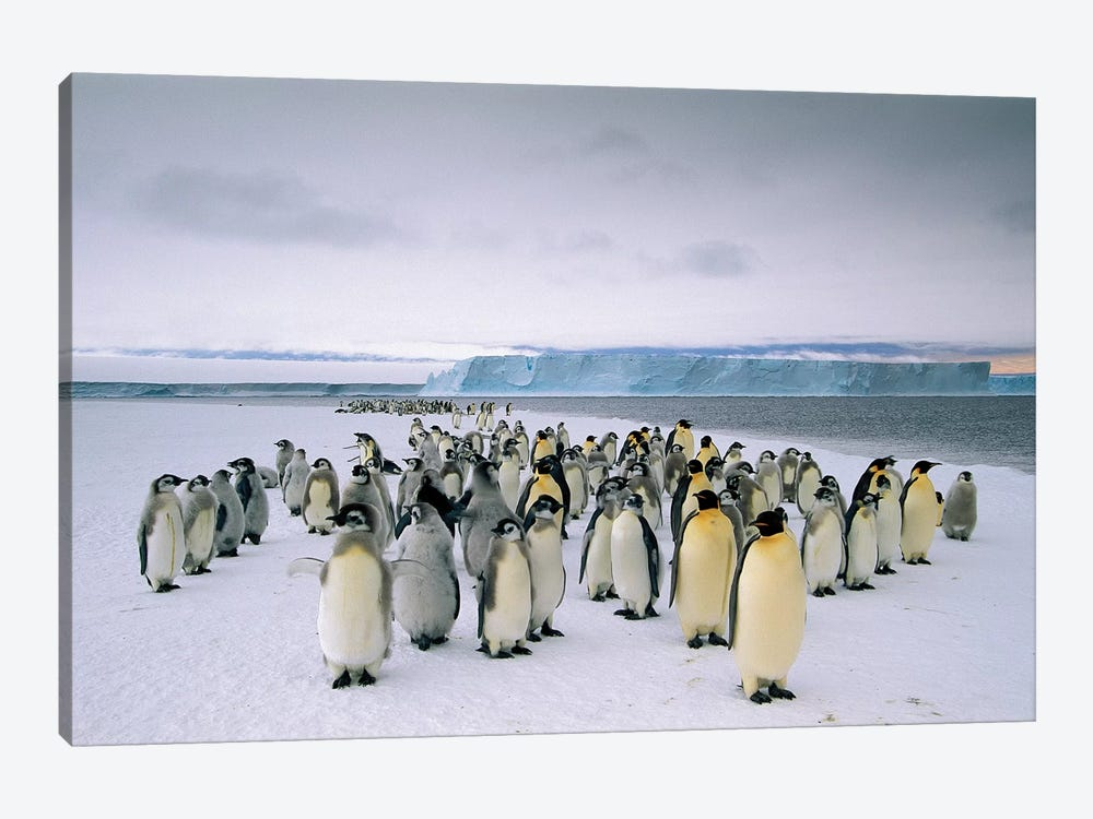 Fledging Emperor Penguins Gathering Along The Fast Ice Edge, Cape Darnley, Davis Sea, Antarctica 1-piece Canvas Wall Art