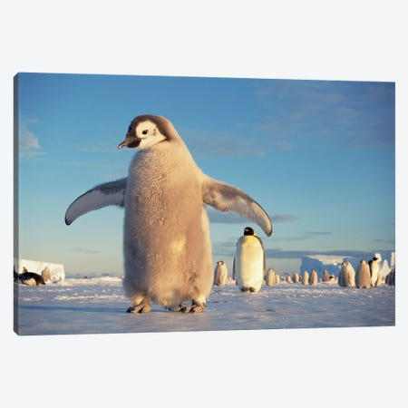 Large Emperor Penguin Chick On Fast Ice Under Austral Spring's Midnight Sun, Princess Martha Coast, Weddell Sea, Antarctica Canvas Print #TUI29} by Tui De Roy Art Print