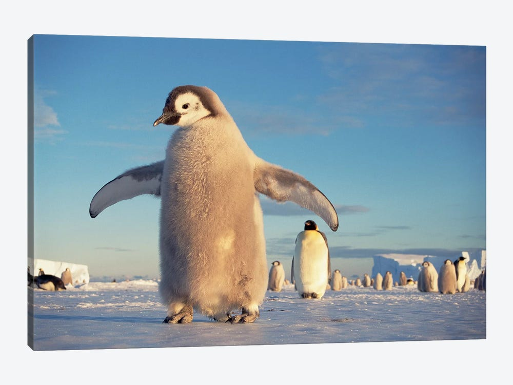 Large Emperor Penguin Chick On Fast Ice Under Austral Spring's Midnight Sun, Princess Martha Coast, Weddell Sea, Antarctica by Tui De Roy 1-piece Canvas Print