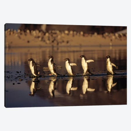 Adelie Penguin Group Commuting Across Algae Stained Summer Melt Pool, Cape Adare, Ross Sea, Antarctica Canvas Print #TUI2} by Tui De Roy Art Print