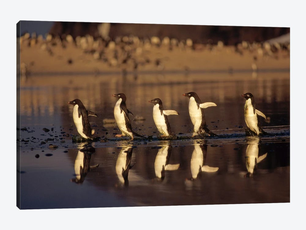 Adelie Penguin Group Commuting Across Algae Stained Summer Melt Pool, Cape Adare, Ross Sea, Antarctica by Tui De Roy 1-piece Art Print