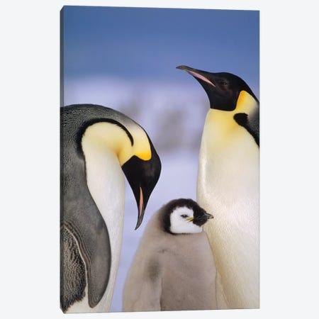 Emperor Penguin Pair With Chick, Atka Bay, Princess Martha Coast, Weddell Sea, Antarctica Canvas Print #TUI30} by Tui De Roy Canvas Artwork