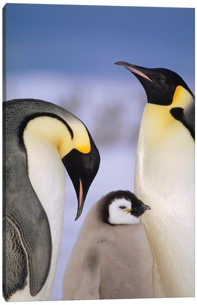 Emperor Penguin Pair With Chick, Atka Bay, Princess Martha Coast, Weddell Sea, Antarctica Canvas Art Print