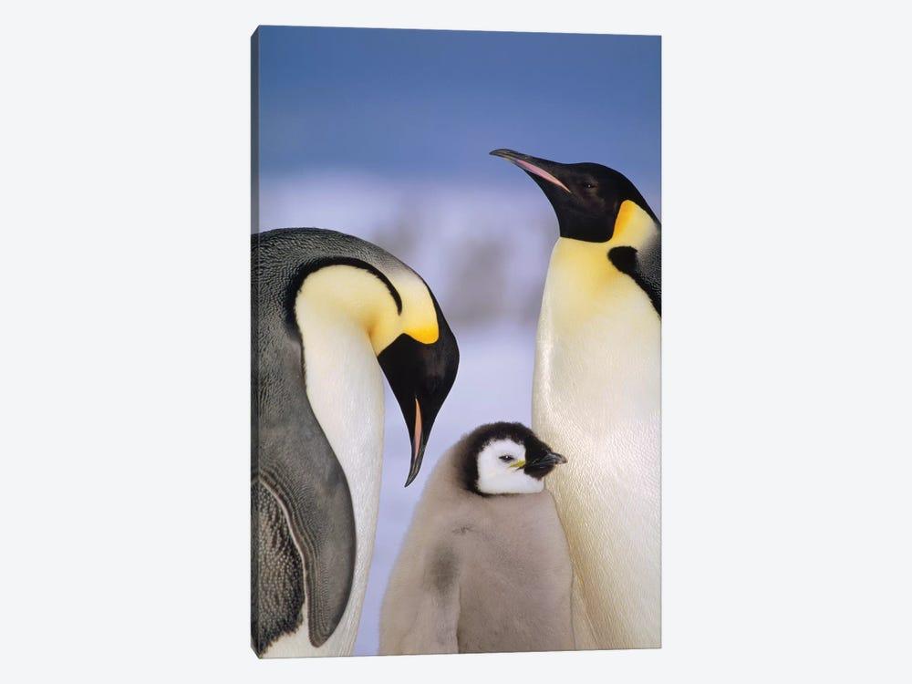 Emperor Penguin Pair With Chick, Atka Bay, Princess Martha Coast, Weddell Sea, Antarctica by Tui De Roy 1-piece Art Print
