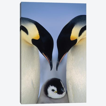 Emperor Penguin Parents Greeting Chick, Atka Bay, Princess Martha Coast, Weddell Sea, Antarctica Canvas Print #TUI31} by Tui De Roy Canvas Artwork